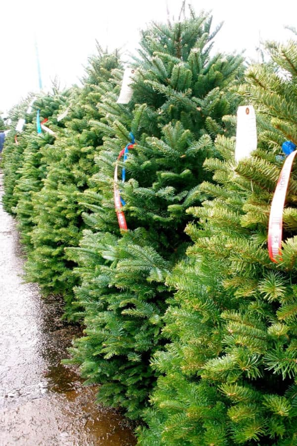 how to keep a live Christmas tree fresh