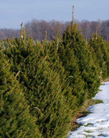 how to keep a live Christmas tree fresh