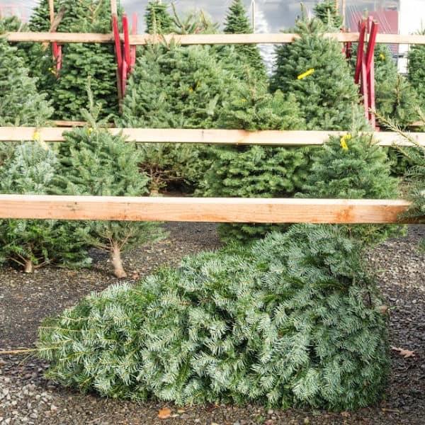 how to keep a live Christmas tree fresh longer